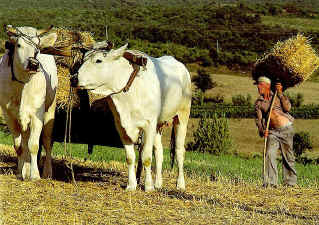 chianina farmer